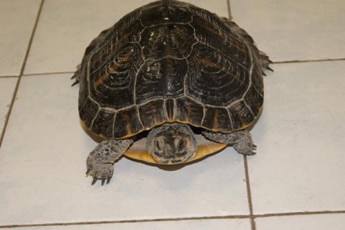 """La mascotte della caserma dei Carabinieri: una tartaruga """"trachemys"""" ritrovata ieri alla conchiglia"""